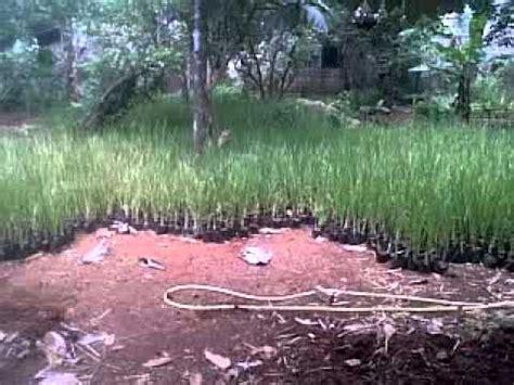 petani rumput vetiver 081210674820 petani rumput vetiver tanaman pencegah longsor