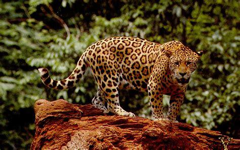 Jaguar Animal Wallpaper by 46 Jaguar Wallpaper Animal On Wallpapersafari