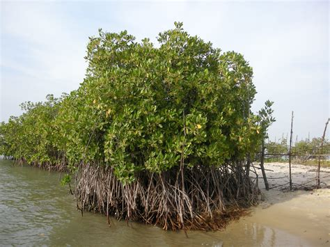 ricardoayala94 – Mangrove Degradation in Senegal