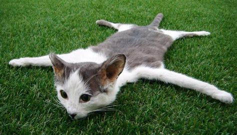 dead cat skin rug  sale  trade  newshub