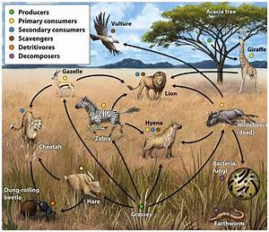 Food webs are more realistic representations of trophic ...
