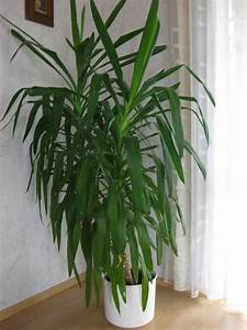 Yucca Palme Blüht : yucca palme 2 st mmig ca 1 65 m in du lingen pflanzen ~ Lizthompson.info Haus und Dekorationen