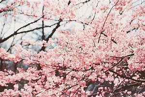 Sakura tree | kawaii259