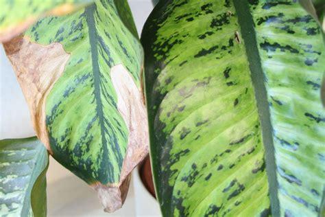 pflanzen doktor gelbe blaetterbraune blattspitzen