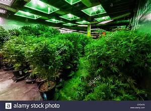 The Green Mile  Grow Room With Marijuana Plants In