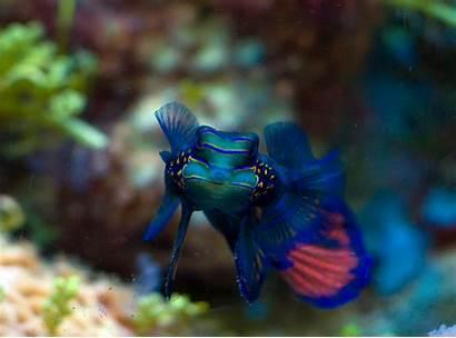 Fish Animal Aquarium Wallpapers Mandarinfish Native Saltwater