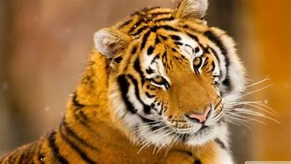 Tiger Wild Animal Siberian Desktop Wallpapers Animals