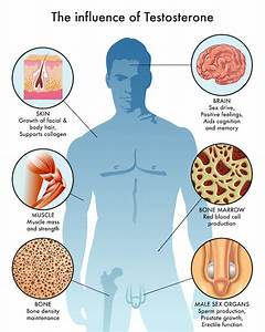 Testosterone Levels  The Basics