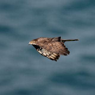 Honey Buzzard Bird Facts | Pernis Apivorus - The RSPB