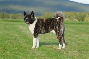 american akita dog breed gallery