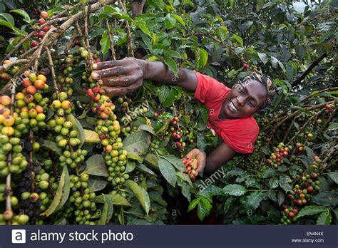 Coffee Production In Kenya Stock Photo, Royalty Free Image Colectivo Coffee Fair Trade Lincoln Park Kickapoo Subscription Hatch Bean Toronto Instagram Cyber Monday Perky Blenders