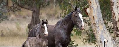 Shire Horse Prefix Applications Horses Society Australia