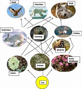 ARCTIC TUNDRA ecosystem food web diagram | Tundra Biome ...