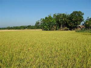 Rice production in Bangladesh - Wikipedia