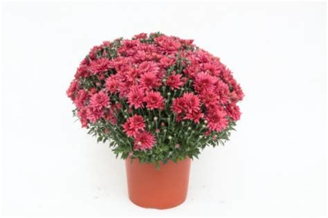 chrysantheme toussaint pot 15