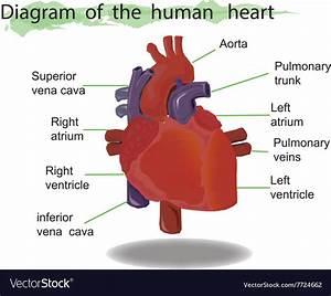 Heart Anatomy Pdf