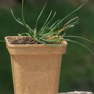 Allium Pflanzen Im Frühjahr : allium angulosum pflanze im topf kantenlauch hof berg garten ~ Yasmunasinghe.com Haus und Dekorationen