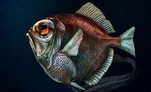 Scientists Discover Nightmare Fish In The Deep  Dark Ocean