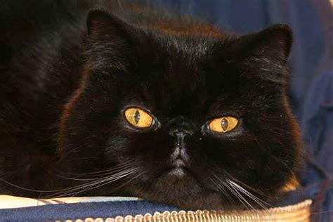 chat noir persan 187 mon regard sur le voyage et la nature