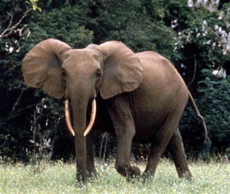 African Forest Elephant Disney Animals Wiki Fandom
