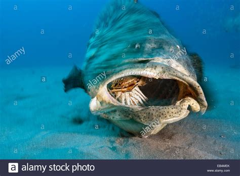 grouper goliath fish atlantic lobster alamy feeds