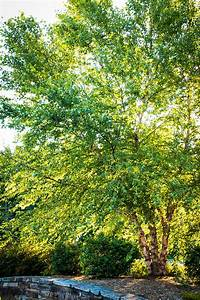 Heritage Birch Clump Trees For Sale
