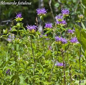 Monarda fistulosa (Bee Balm, Horsemint, Bergamot)