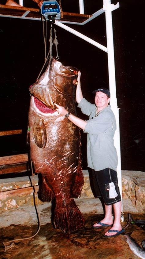 grouper giant caught monster biggest ever tanzania fish bonito latham island fishes lb kg largest record shayne keith nelson pound