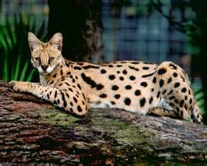 serval cat for wacky wednesday the serval gabbywild
