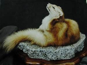 Horned Marten Animal