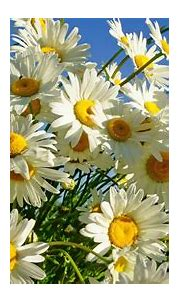 White Petals Daisies Summer Sun 2560x1600 : Wallpapers13.com
