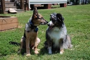Miniature German Shepherd Puppies | www.pixshark.com ...