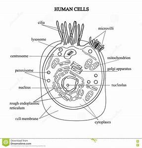 Cell Organelles Biological Vector Illustration Diagram