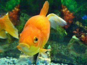 types  goldfish   pond fish