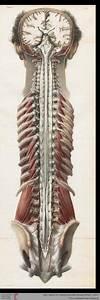 Human Organs Diagram Back View