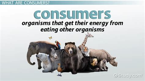 ecology consumer definition explanation