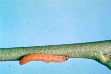 http://www.agraria.org/entomologia-agraria/tignola-orientale-pesco.htm
