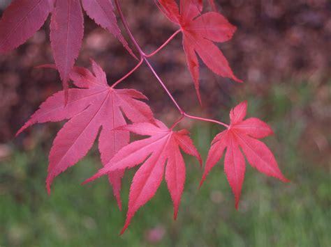 maple leaves japan japanese maples galore ramblin through dave s garden