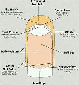 Anatomy And Physiology Of The Nail  Whyclary