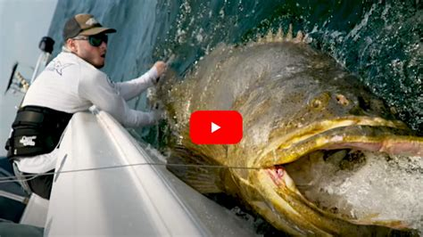 grouper goliath pound determined angler pushes limit 13h