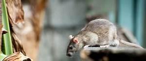Comment Se Debarrasser Des Rats : comment se d barrasser des souris et des rats caa qu bec ~ Melissatoandfro.com Idées de Décoration