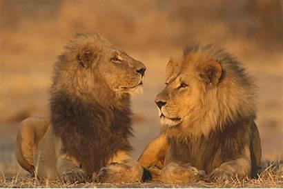 Animals African Lions Games Allwallpaper Dslr Wallpapers