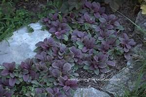 Amazing Ajuga (reptans) - Growing The Home Garden