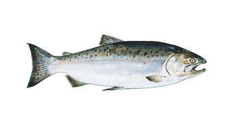 Wild Salmon Season