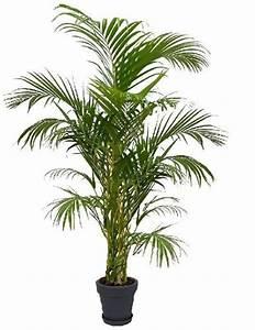 Palmen Für Drinnen : pflanzen florashop2000 ~ Bigdaddyawards.com Haus und Dekorationen