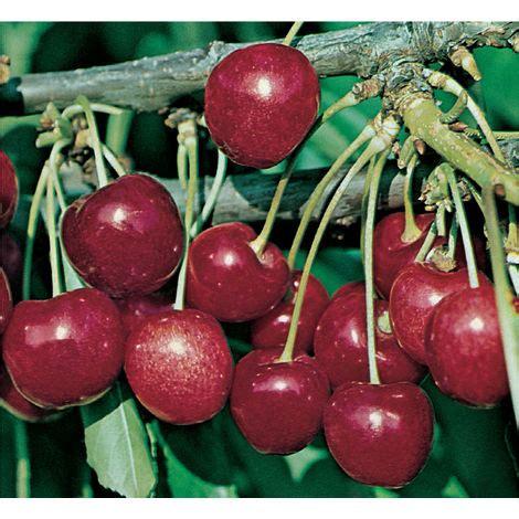 piante da frutto in vaso 1 pianta di ciliegio stella nano in vaso 20cm piante da