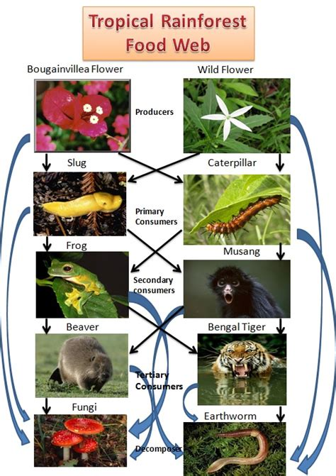 cuisine web images of the tropical rainforest food chain impremedia