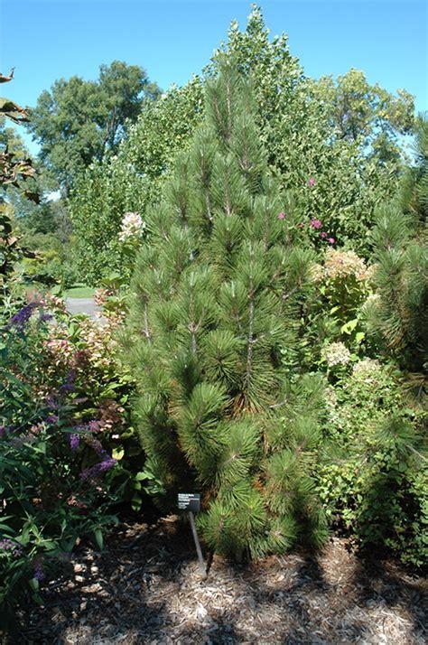 iseli fastigiate bosnian pine pinus leucodermis iseli