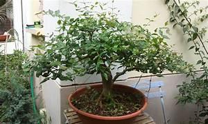 Taille De Cerisier : grand cerisier taille avant l hiver mes bonsa s la ~ Melissatoandfro.com Idées de Décoration