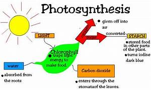 Little Butterfly Notes  Photosynthesis
